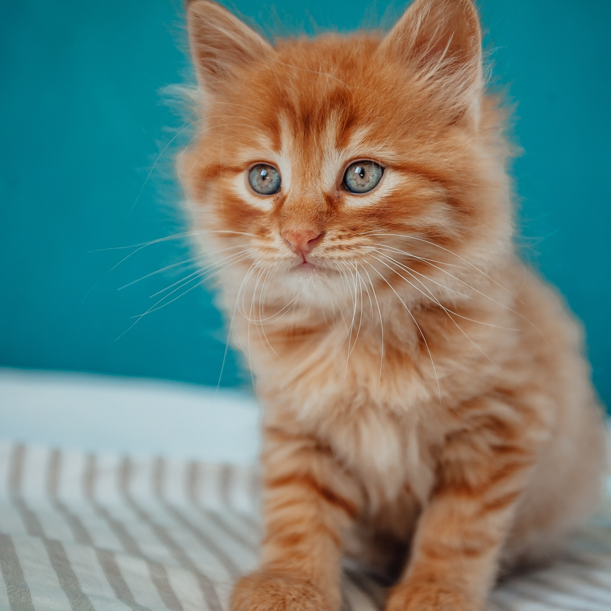 Baby Cat. Ginger Kitten Playing At Home