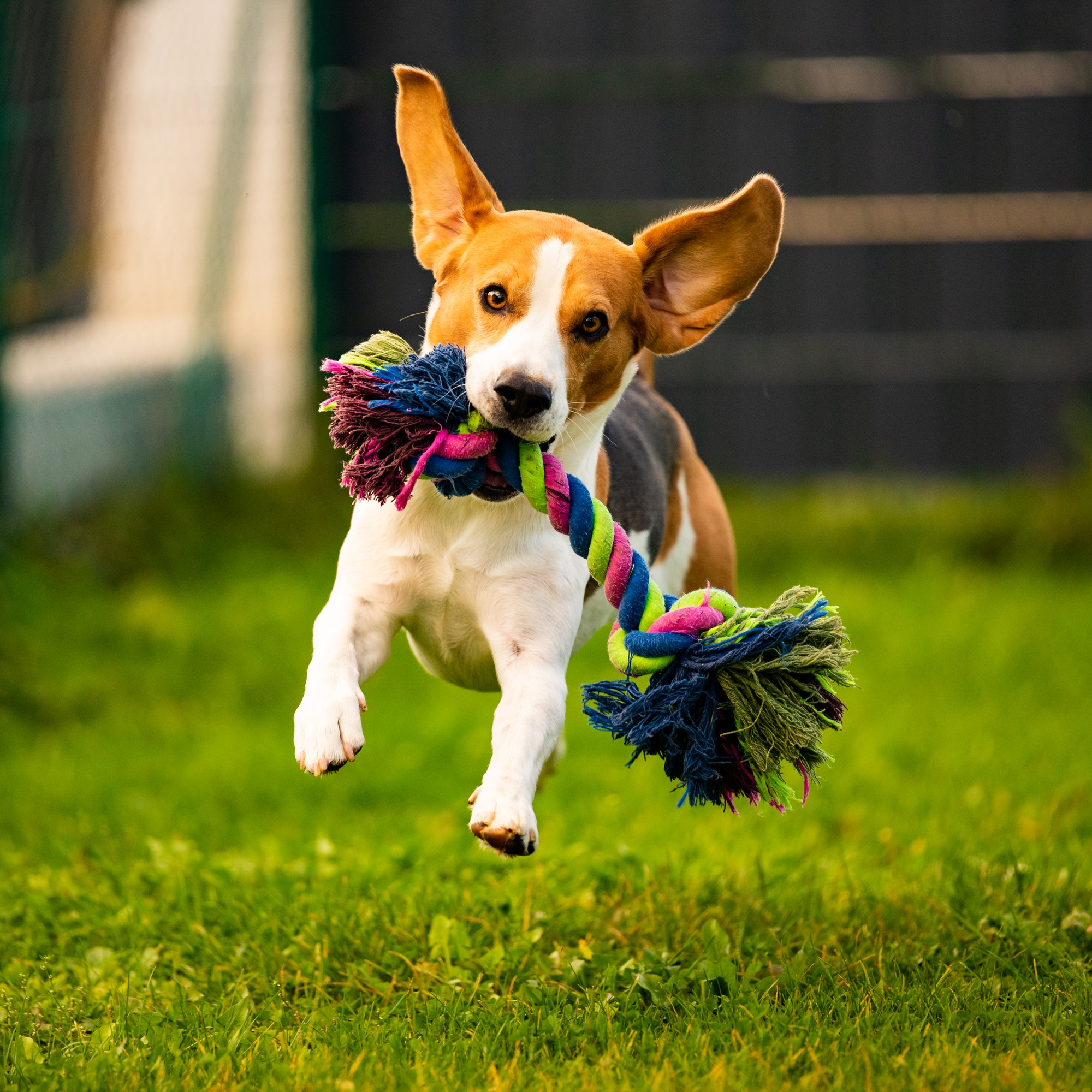 Beagle dog jumping and running with a toy towards the camera